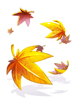 C Maple Which Falls [0]